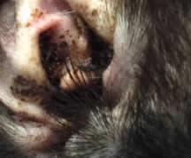 Paraziți în urechea umană Simptome - Tratamentul paraziților umani în ureche, paraziți paragoni